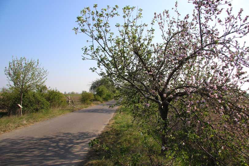 Fährallee, Baumblüte