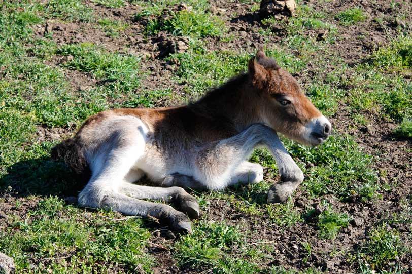 Schauweide, Exmoor-Folen im April geboren