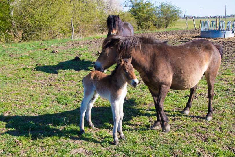 Schauweide, Exmoor-Folen geboren, gesamte Familie
