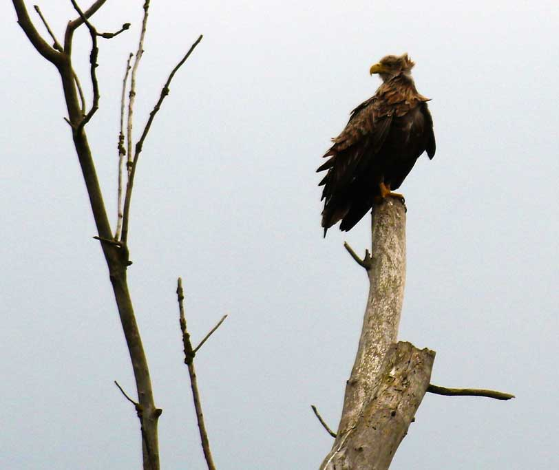 Seeadler, Schinderloch