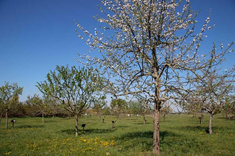 Streuobstwiese, Baumblüte